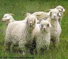 Angora goat 03