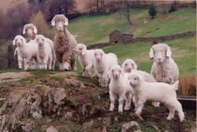 Angora goat kids