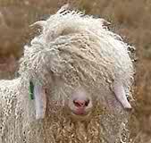 Angora goat 04