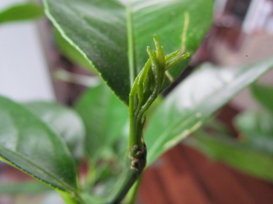 Lemon tree first leaf