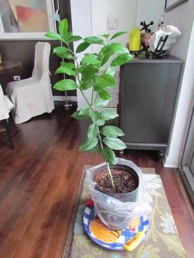 Lemon tree arrival