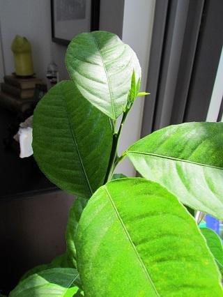 Lemon tree june2013 04