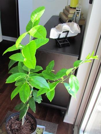 Lemon tree june2013 01