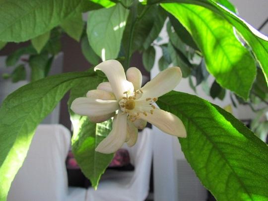 Lemon tree blossom